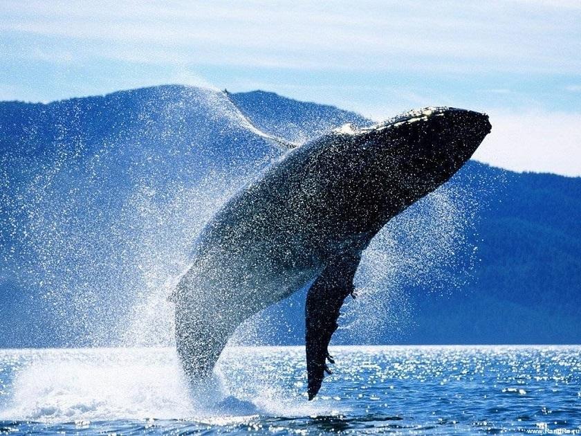 10 самых необычных языков в животном мире. Синий кит. Саламандра | 630x840