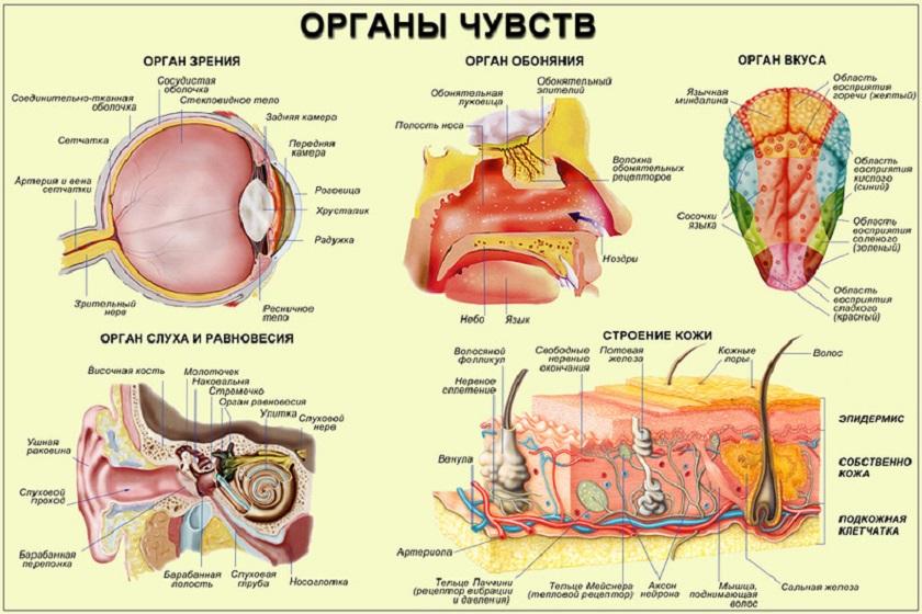 анатомия чувств