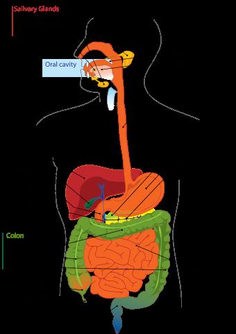 Пищеварительный тракт