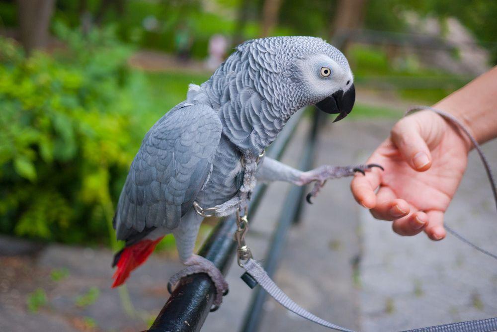 Шлейка для попугая