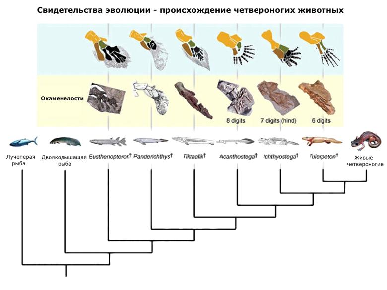 Филогенетическая схема