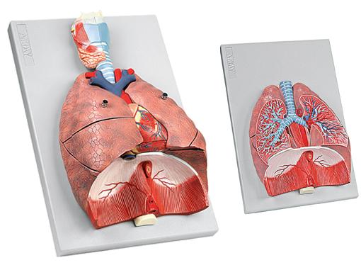 картинки анатомия легких