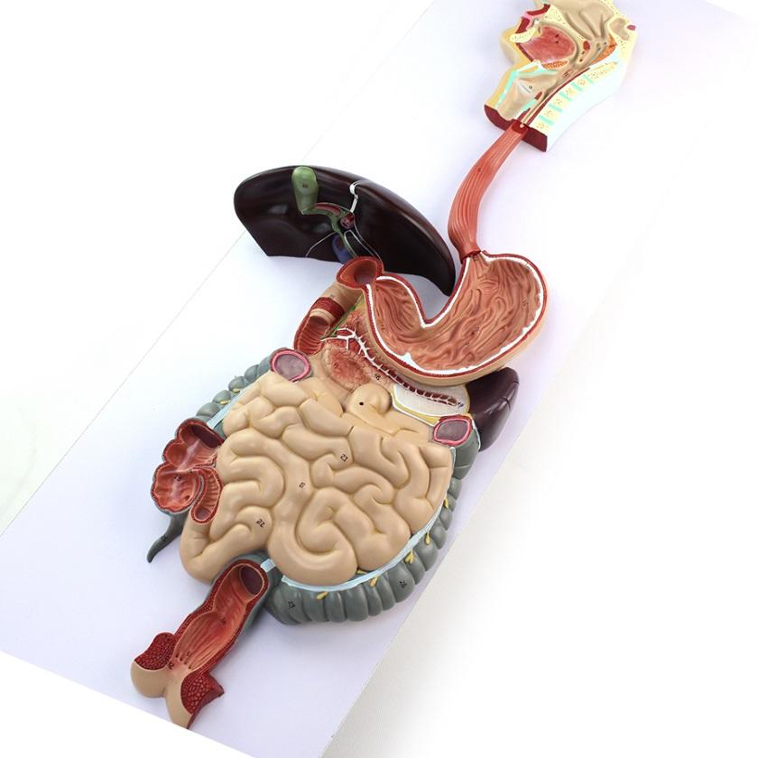 анатомия людини фото
