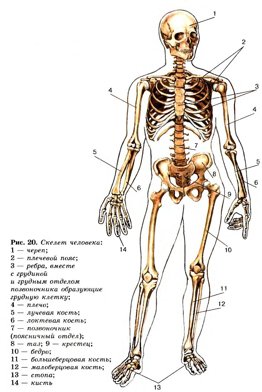 Общая схема строения организма человека фото 225