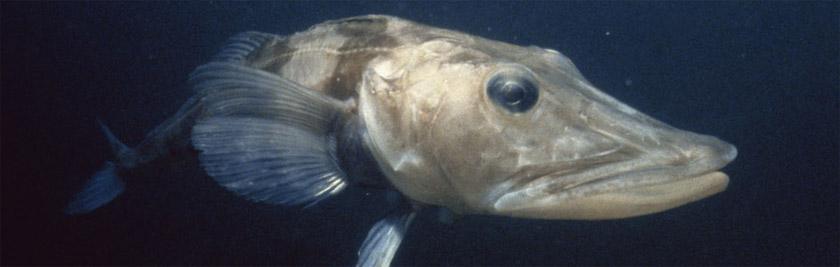 Антарктическая ледяная рыба