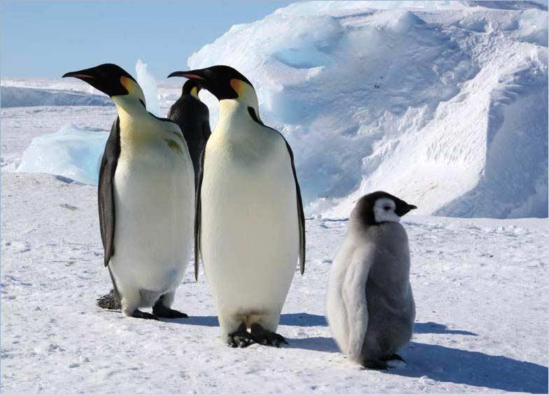 Фотография пингвинов с детенышем