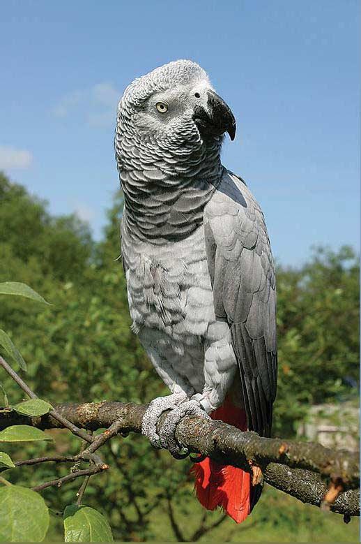 Фотография Африканского серого попугая.