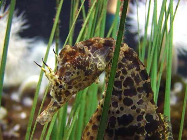 Этот удивительный морской конек.