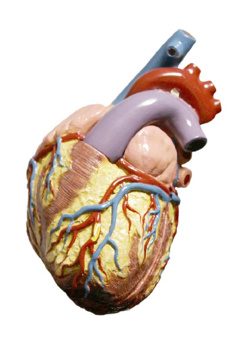 анатомия человека сердце