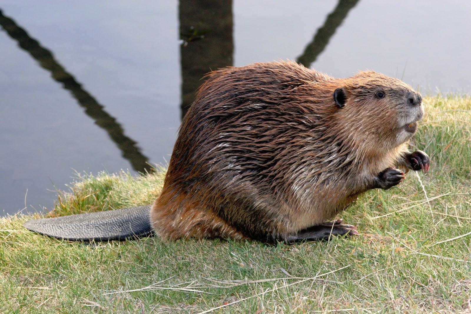 beaver14.jpg