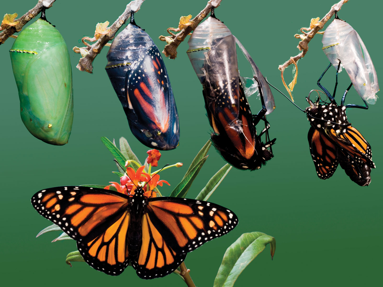 Life Cycle Of A Butterfly Stages Of Life  Science Trends