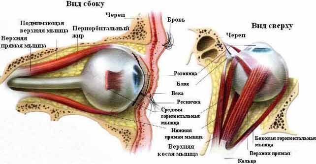 Глазовращающие мышцы известны