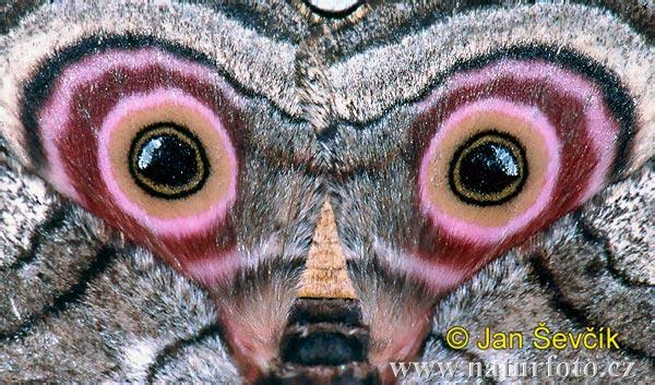 фото бабочки крапчатая павлиноглазка (Gynanisa maja)