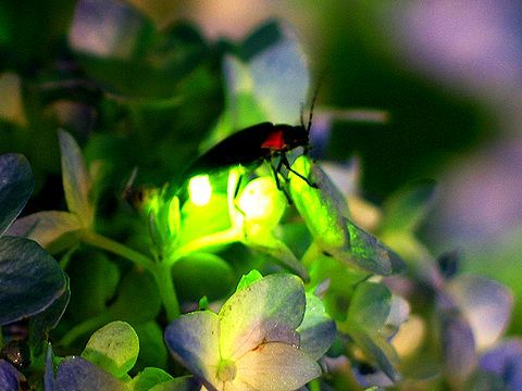 Светлячки: жуки-маячки