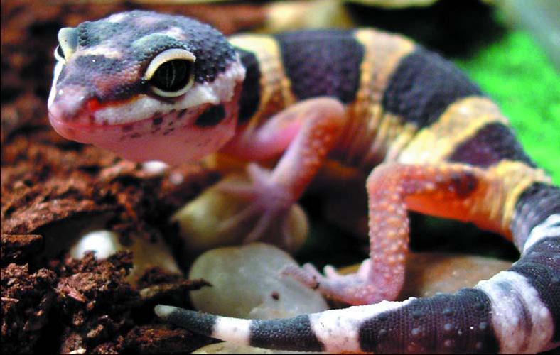 Геккон: ящерица, способная бегать по потолку.