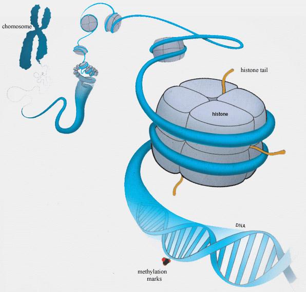Хвостики нашего генетического кода