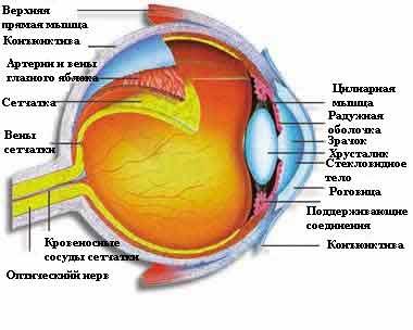 фоторецепторов предназначение глаза истинное Раскрыто