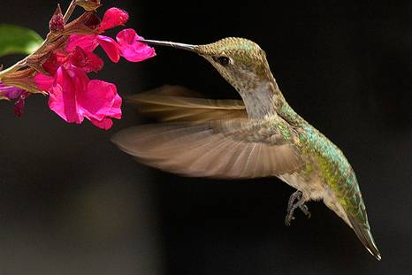 Птица колибри.Птица природы.