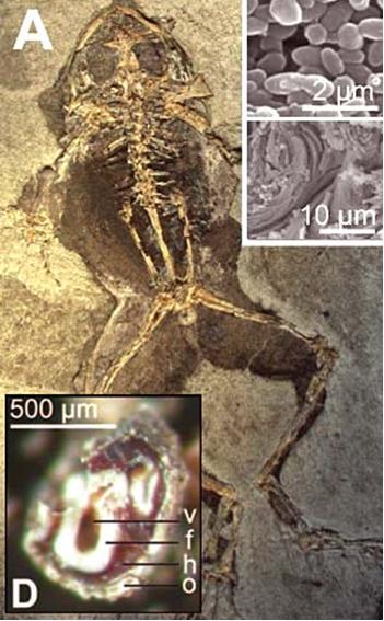 Костный мозг в останках миоценовой лягушки