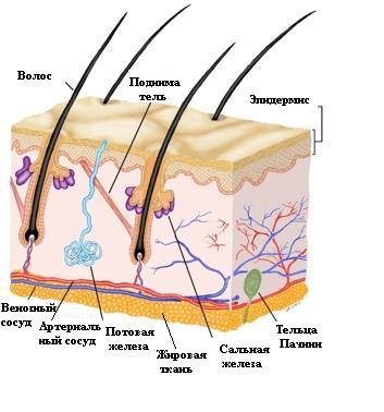 По мере созревания кератиноциты продвигаются к поверхности кожи.