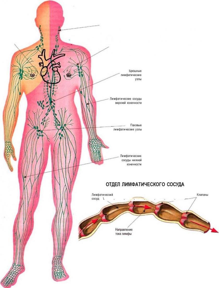 Общая схема строения организма человека фото 876