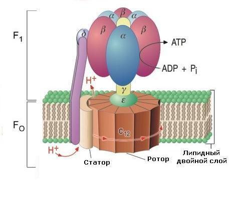 мотор в организмах3