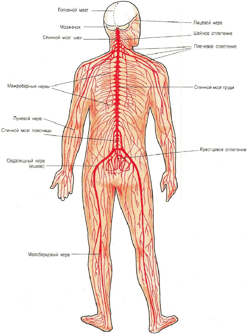 Отделы желудка человека схема фото 287