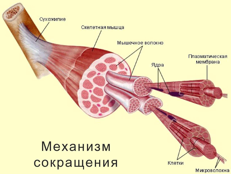 фото анатомия