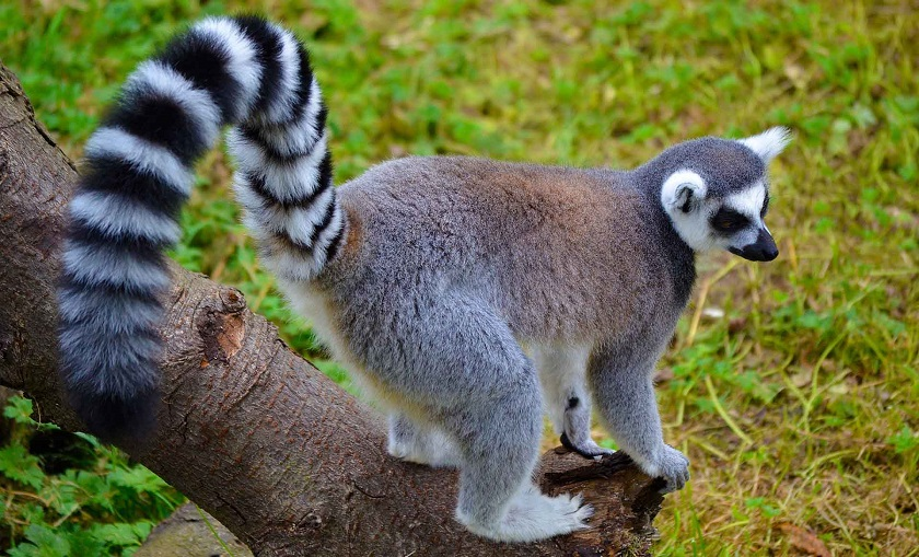 Лемур - 110 фото самого знаменитого обитателя Мадагаскара
