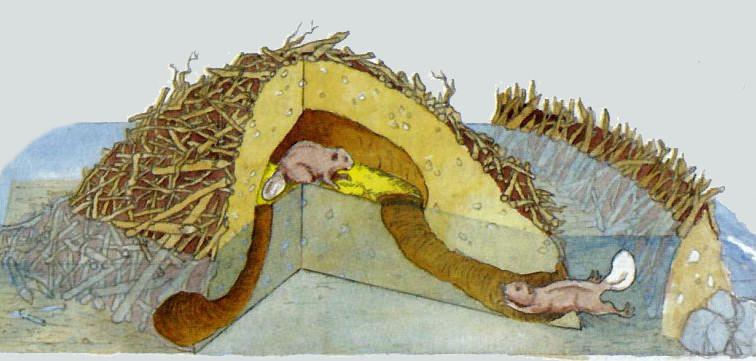 Как живут бобры