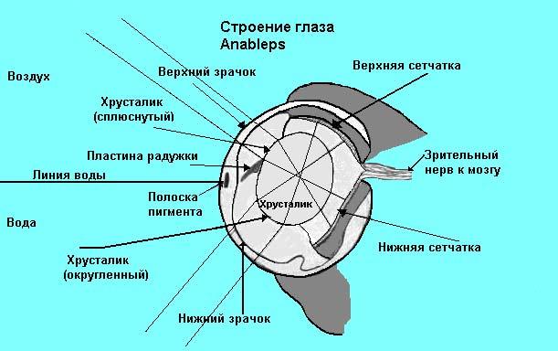 глаз рыбы Anableps