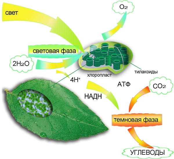 Разгаданные секреты фотосинтеза
