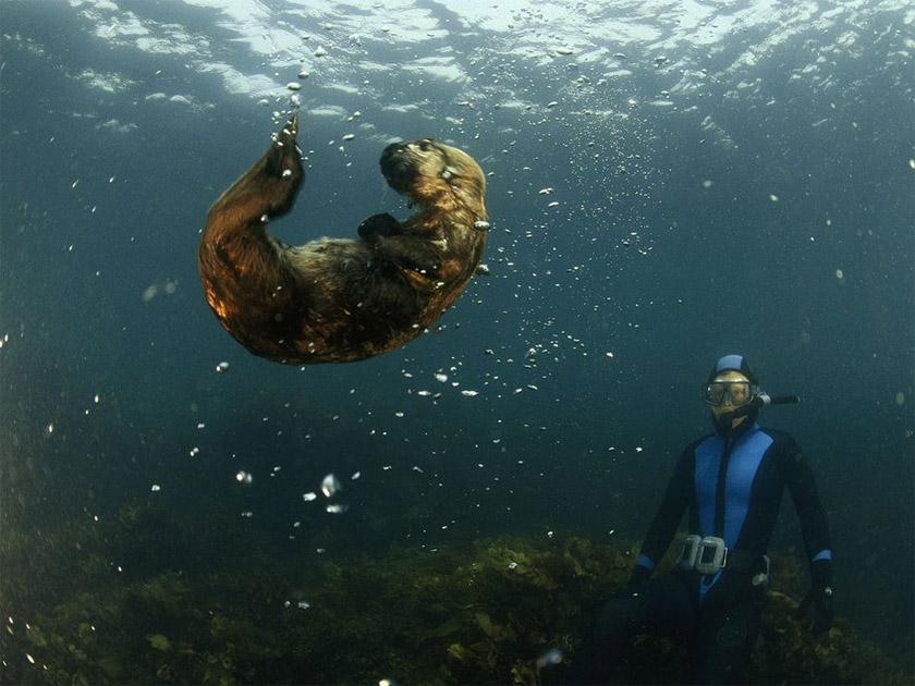 калан - морская выдра