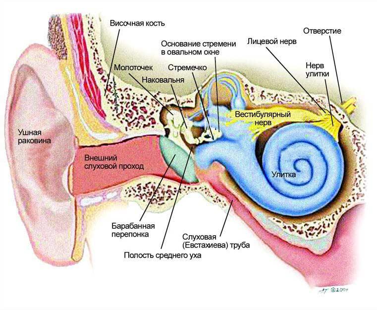 Улитка (Внутреннего Уха) фото