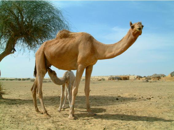 фото верблюда в хорошем качестве